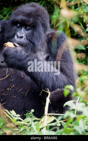 Silver back Highland Gorilla in the Parc des Volcans , Rwanda. - Stock Photo