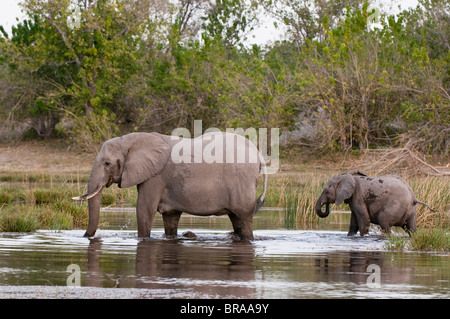 Elephant (Loxodonta africana), Savute Channel, Linyanti, Botswana, Africa - Stock Photo