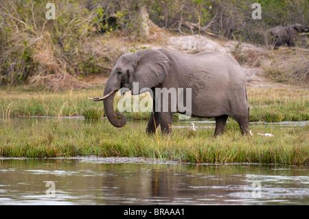 Elephant (Loxodonta africana), Savute Channel, Linyanti, Botswana, Africa - Stock Photo