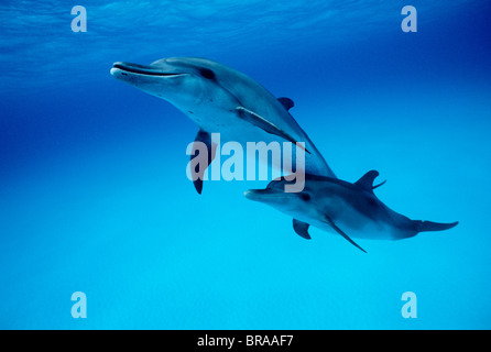 Atlantic spotted dolphins underwater {Stenella frontalis} Bahamas - Stock Photo