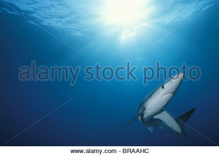 Great blue shark {Prionace glauca} Channel Islands, California, USA - Stock Photo