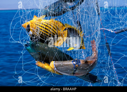 Bedouin fishermen catch tropical coral reef fish with gill net, Red Sea, Egypt - Stock Photo