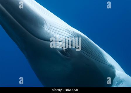 Dwarf minke whale {Balaenoptera acutorostrata} close up abstract showing eye, Queensland, Australia - Stock Photo