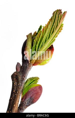 Black Alder / European Alder / Common Alder (Alnus glutinosa) buds opening and leaves emerging in spring, Belgium - Stock Photo