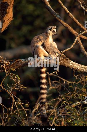 Ring-tailed Lemur (Lemur catta) sitting on tree, Berenty, Southern Madagascar, Africa - Stock Photo