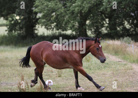 A beautiful bay Welsh Cob cantering in his field - Stock Photo