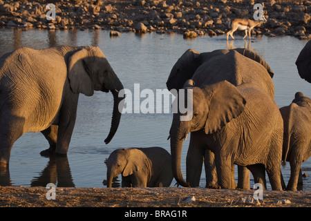 Elephants (Loxodonta africana) at a waterhole, Okaukuejo, Etosha National Park, Namibia, Africa - Stock Photo