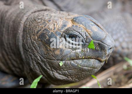 Head of Seychelles giant tortoise at the Jardin du Roi spice garden near Anse Royale, Island of Mahe, Seychelles - Stock Photo