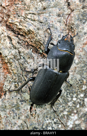 Lesser stag beetle (Dorcus parallelipipedus) in forest - Stock Photo