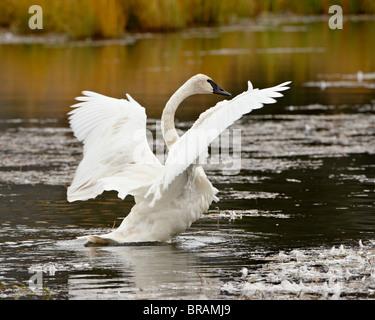 Trumpeter Swan (Cygnus buccinator) stretching its wings on a pond, Tok Cutoff, Alaska, United States of America, - Stock Photo