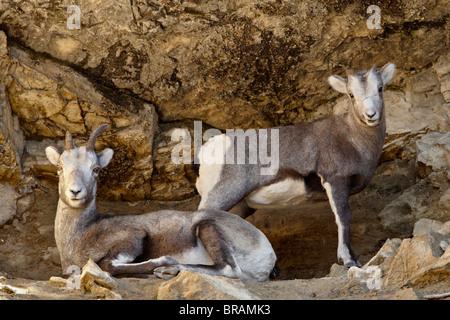 Stone Sheep (Ovis dalli stonei) ewe and lamb, Stone Mountain Provincial Park, British Columbia, Canada, North America - Stock Photo