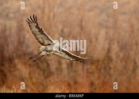 Sandhill Crane (Grus canadensis) just about to land, Bernardo Wildlife Area, Ladd S. Gordon Wildlife Complex, New Mexico, USA
