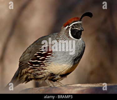 Male Gambel's Quail (Callipepla gambelii) in captivity, Arizona Sonora Desert Museum, Tucson, Arizona, United States - Stock Photo
