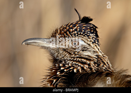 Greater Roadrunner (Geococcyx californianus), Bosque Del Apache National Wildlife Refuge, New Mexico, United States - Stock Photo
