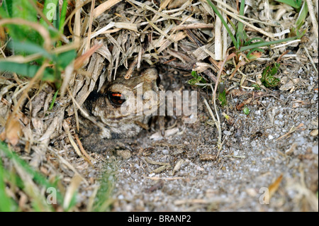 Juvenile common European toad (Bufo bufo) hiding in Field cricket's burrow (Gryllus campestris) - Stock Photo
