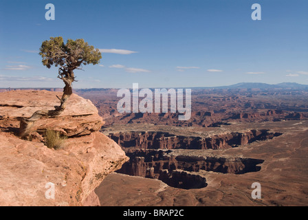 Grand View Point Overlook with Utah Juniper tree (Juniperus osteosperma) in foreground, Canyonlands National Park, - Stock Photo