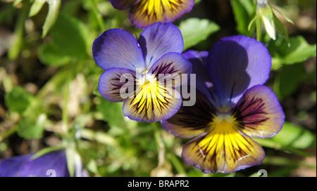 Viola tricolor in the garden - Stock Photo