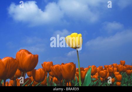Yellow tulip amongst a sea of red tulips. - Stock Photo