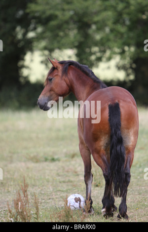 A beautiful bay Welsh Cob playing with a football - Stock Photo