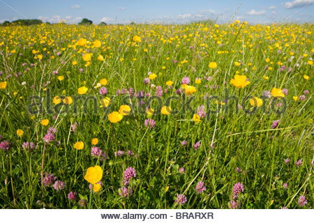 Tranquil field of blooming buttercups - Stock Photo