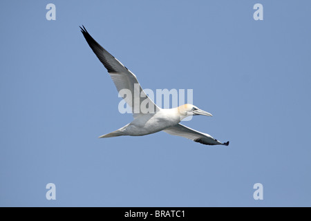 Northern Gannet, Morus, (sula) bassana, in flight, Fife Ness - Stock Photo
