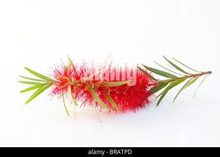 Red bottlebrush flower (Callistemon viminalis) - Stock Photo