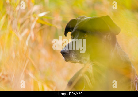 Black Lab In Autumn Tall Grass; Portland, Oregon, United States Of America - Stock Photo