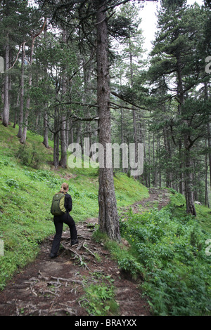 A hiker climbs a tricky tree root covered path in subalpine forest on the Pyrenean traverse in Catatonia Spain - Stock Photo