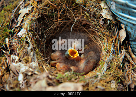 Five, Two day old Robin chicks - Stock Photo