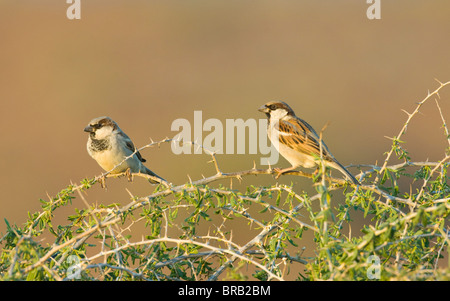 House Sparrows (Passer domesticus), Namaqualand, Northern Cape, South Africa - Stock Photo
