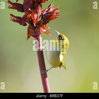 Cape White-Eye Zosterops virens Cape Town Kirstenbosch Botanical Gardens South Africa - Stock Photo