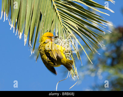 Cape Weaver Ploceus capensis Namaqualand Northern Cape South Africa - Stock Photo