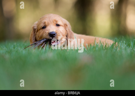 A 7 week old golden retriever puppy chewing on something. - Stock Photo