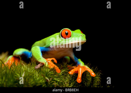 red-eyed tree frog closeup on black, sitting on natural moss ready to jump. Agalychnis callidryas. - Stock Photo