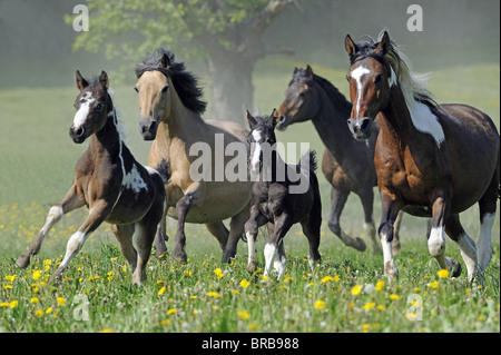 Lewitzer Horse (Equus ferus caballus), mares with foals in a gallop on a pasture. - Stock Photo