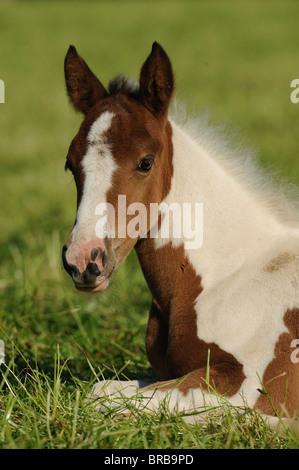 Lewitzer Horse (Equus ferus caballus), foal lying on a pasture. - Stock Photo