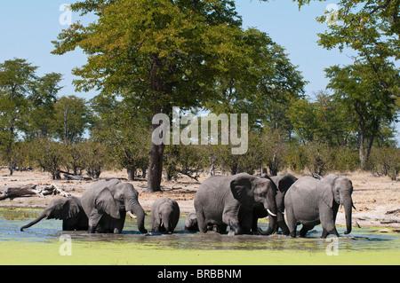Elephant (Loxodonta africana), Savute Channel, Linyanti, Botswana - Stock Photo