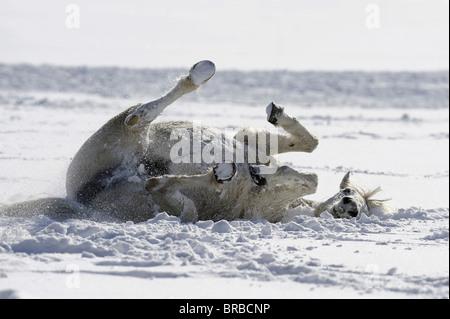 Connemara Pony (Equus ferus caballus). Mare rolling in snow. - Stock Photo