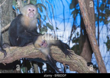 White-faced Capuchin monkey (Cebus capucinos) on tree, Manuel Antonio National Park, Costa Rica, Central America - Stock Photo