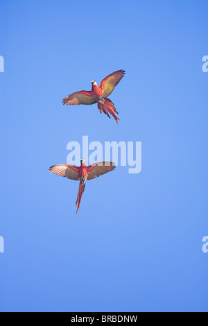 Scarlet macaws (Ara macao) in flight, Corcovado National Park, Osa Peninsula, Costa Rica, Central America - Stock Photo