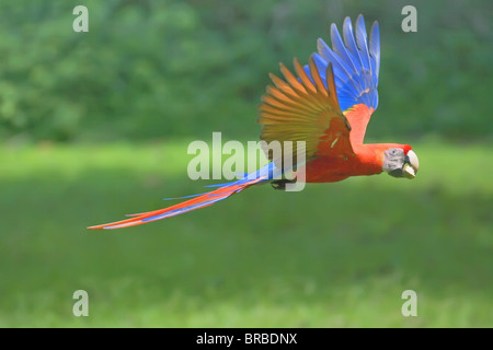 Scarlet macaw (Ara macao) in flight with nut in its beak, Corcovado National Park, Osa Peninsula, Costa Rica, Central - Stock Photo