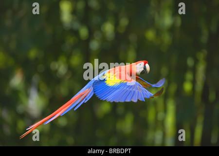 Scarlet macaw (Ara macao) in flight, Corcovado National Park, Osa Peninsula, Costa Rica, Central America - Stock Photo
