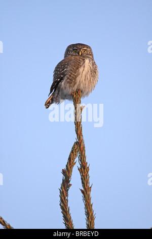 Eurasian Pygmy-Owl, Glaucidium passerinum, Svartadalen, Central Sweden - Stock Photo