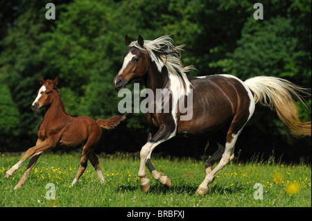 Lewitzer Horse (Equus ferus caballus), mare with foal in a gallop on a pasture. - Stock Photo