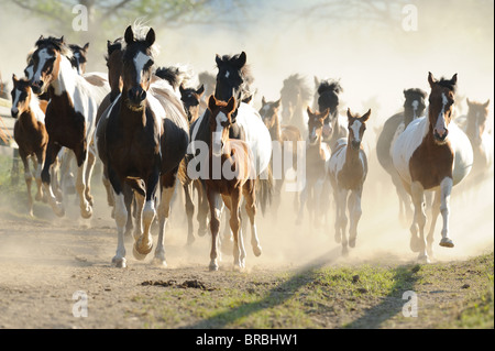 Lewitzer Horse (Equus ferus caballus), mares with foals in a gallop on a dusty road. - Stock Photo