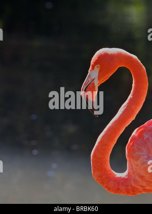 Red Flamingo Head and Neck against a dark soft focus pond - Stock Photo