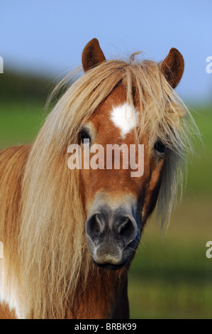 Shetland Pony (Equus ferus caballus), portrait. - Stock Photo