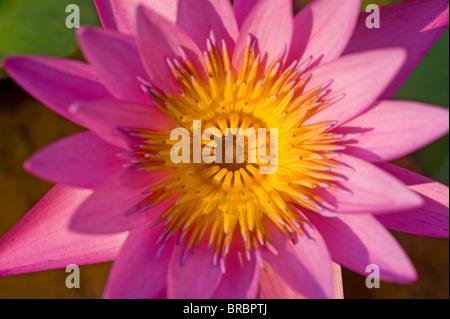 A lotus flower - Stock Photo