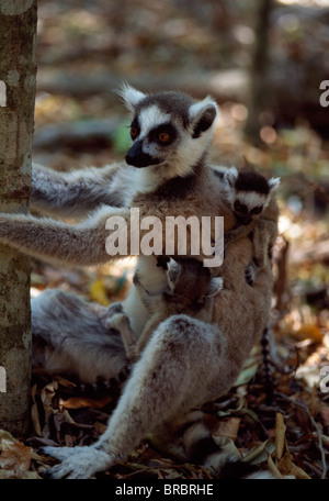 Ring-tailed Lemurs (Lemur catta), mother with twin babies, Berenty, Southern Madagascar - Stock Photo