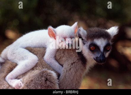 Ring-tailed Lemur (Lemur catta), all white baby male (Sapphire) albino on mother's  back, Berenty, Southern Madagascar - Stock Photo